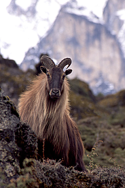 the himalayas animals